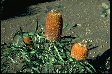 APII jpeg image of Banksia victoriae  © contact APII