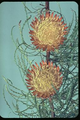 APII jpeg image of Banksia proteoides  © contact APII