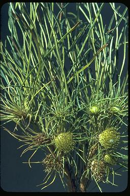 APII jpeg image of Dryandra subulata  © contact APII