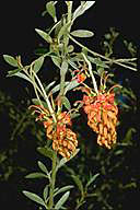 Grevillea diminuta - click for larger image