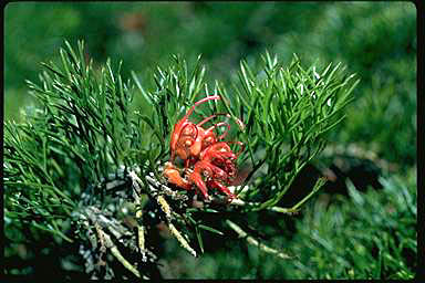 APII jpeg image of Grevillea maxwellii  © contact APII