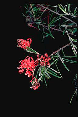 APII jpeg image of Grevillea molyneuxii  © contact APII
