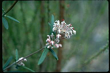 APII jpeg image of Grevillea occidentalis  © contact APII
