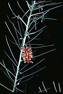 Grevillea parallelinervis - click for larger image