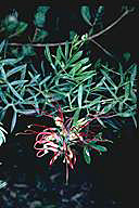 Grevillea ripicola - click for larger image
