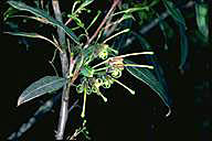 Grevillea shiressii - click for larger image