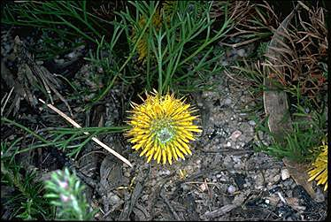APII jpeg image of Isopogon prostratus  © contact APII