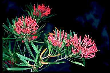APII jpeg image of Telopea mongaensis  © contact APII