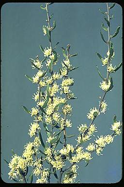 APII jpeg image of Hakea falcata  © contact APII