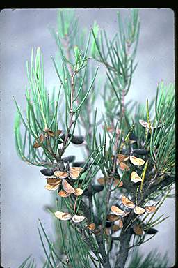 APII jpeg image of Hakea microcarpa  © contact APII