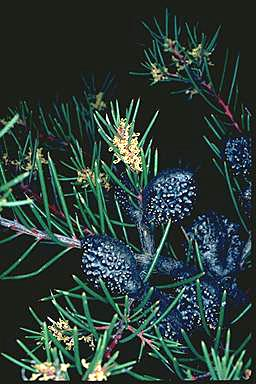 APII jpeg image of Hakea propinqua  © contact APII