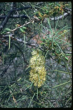 APII jpeg image of Hakea recurva  © contact APII