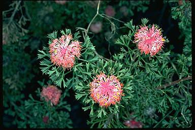 APII jpeg image of Isopogon dubius  © contact APII