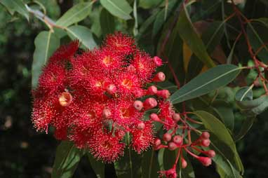 APII jpeg image of Corymbia ficifolia  © contact APII