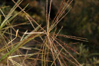 APII jpeg image of Enteropogon acicularis  © contact APII