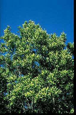 APII jpeg image of Grevillea hilliana  © contact APII