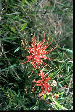 APII jpeg image of Grevillea juniperina  © contact APII