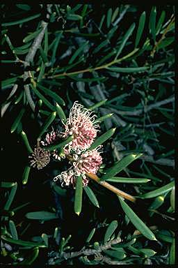 APII jpeg image of Hakea clavata  © contact APII