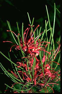 APII jpeg image of Hakea purpurea  © contact APII
