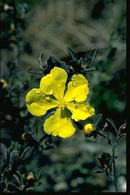 APII jpeg image of Hibbertia villosa  © contact APII