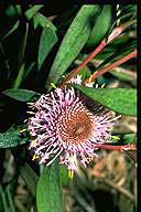 Isopogon cuneatus - click for larger image