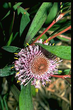 APII jpeg image of Isopogon cuneatus  © contact APII