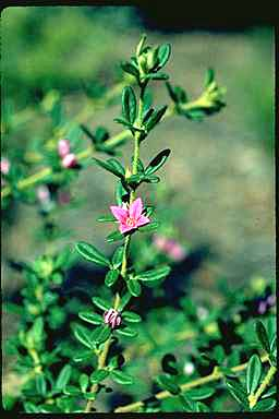 APII jpeg image of Boronia obovata  © contact APII