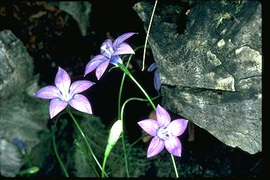 APII jpeg image of Wahlenbergia gloriosa  © contact APII