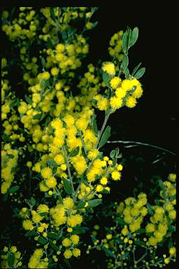 APII jpeg image of Acacia ixiophylla  © contact APII