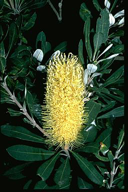 APII jpeg image of Banksia integrifolia  © contact APII