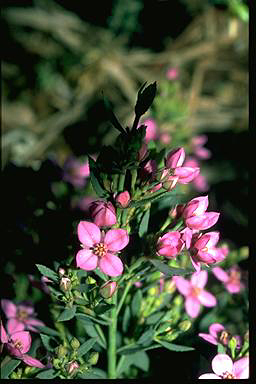 APII jpeg image of Boronia barkeriana  © contact APII