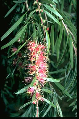 APII jpeg image of Callistemon 'Injune'  © contact APII