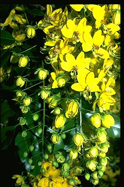 APII jpeg image of Cassia queenslandica  © contact APII