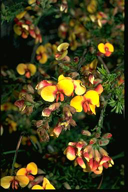 APII jpeg image of Dillwynia phylicoides  © contact APII