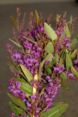 APII jpeg image of Hardenbergia violacea 'Purple Spray'  © contact APII