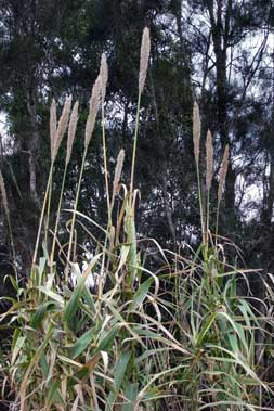 APII jpeg image of Arundo donax  © contact APII