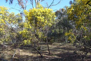 APII jpeg image of Acacia pycnantha  © contact APII