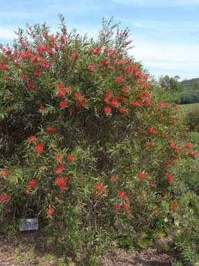 APII jpeg image of Callistemon 'Kings Park Special'  © contact APII