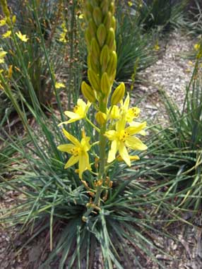 APII jpeg image of Bulbine glauca  © contact APII