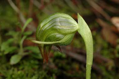 APII jpeg image of Pterostylis nutans  © contact APII