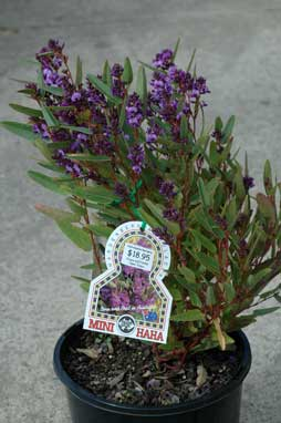APII jpeg image of Hardenbergia 'Mini Haha'  © contact APII