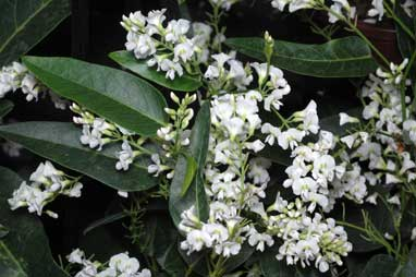 APII jpeg image of Hardenbergia 'Snow White'  © contact APII