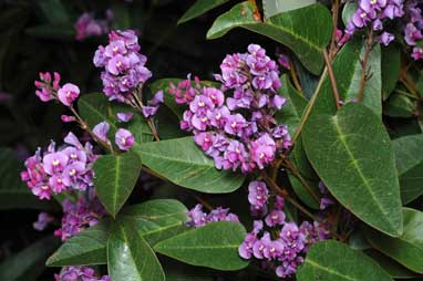 APII jpeg image of Hardenbergia 'Happy Wanderer'  © contact APII