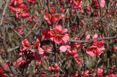 APII jpeg image of Chaenomeles x superba  © contact APII