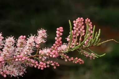 APII jpeg image of Tamarix ramosissima  © contact APII