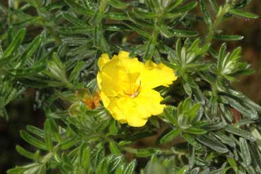 APII jpeg image of Hibbertia crinitia  © contact APII