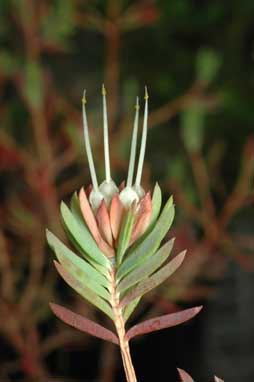 APII jpeg image of Darwinia procera  © contact APII