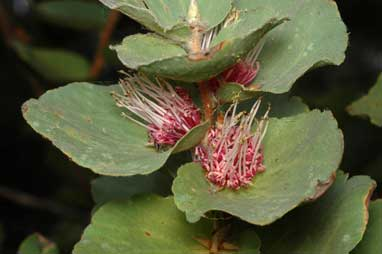 APII jpeg image of Hakea cucullata  © contact APII