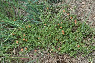 APII jpeg image of Anagallis arvensis  © contact APII