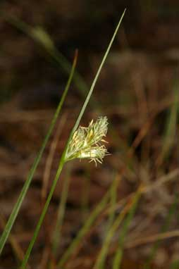 APII jpeg image of Carex inversa  © contact APII